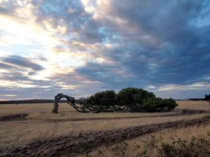 L'un des spécimens d'arbre couché le plus connu !
