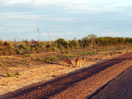 Des kangourous sur le bord de la route qui détalent à l'approche de la voiture... Prudence