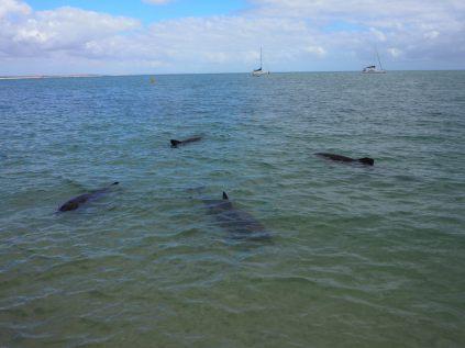 """Un """"gang"""" de 4 dauphins s'est ramené !"""