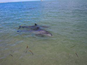 Parfois les dauphins nagent sur le coté pour mieux observer ce qui se passe sur la plage