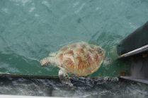 Une tortue verte ! Elle semblait vouloir se hisser sur la poutre de la jetée