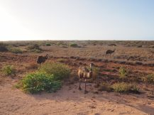 Emus au Cape Range National Park