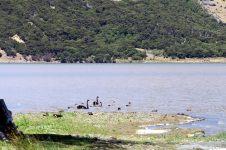 Première rencontre animale : des cygnes noirs au lac Forsyth