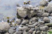 Malgré leur démarche balourde, les otaries arrivent à se déplacer sur les rochers