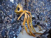 Une algue bien accrochée à la roche !