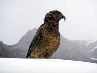 Un Kéa (Nestor notabilis), en anglais Kea, qui est un perroquet montagnard assez malin