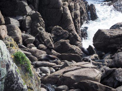 Baie de Tarouga. Les otaries à fourrure en train de se reposer sur les rochers.