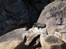 Nouvelle séance d'observation des otaries sur les rochers de l'ile Adèle