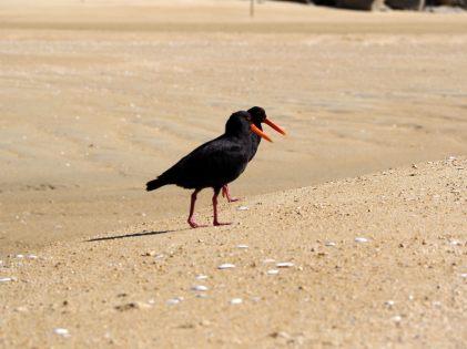 Oiseaux sur la plage de Bark Bay