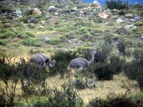 Des Nandous au Parc National Torres Del Paine