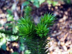 Détail d'une branche d'Araucaria
