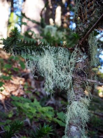 Etranges filaments présents sur les arbres