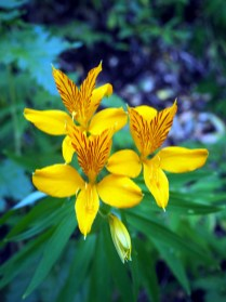 Inca lily (Alstroemeria aurea), en français alstrœmères