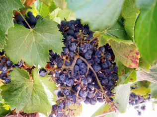 Les grapes de raisin