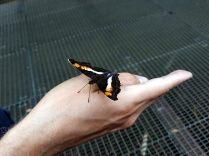 Un des nombreux papillions aux chutes d'Iguazu