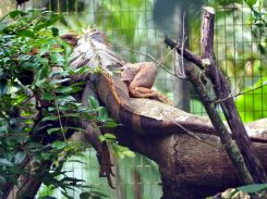 Un iguane en pleine sieste, qui nous tourne le dos