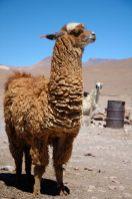 Un Lama, par Christophe Meneboeuf - http://www.pixinn.net, CC BY-SA 3.0