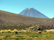 Sur la route entre les Geysers du Tatio et SAn Pedro de Atacama, des vigognes