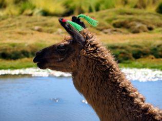 Sur la route entre les Geysers du Tatio et SAn Pedro de Atacama, des lamas
