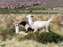 Des lamas en pleine séance de reproduction, Laguna Vinto, Sud Lipez