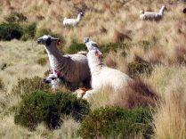 """Alors qu'un nouveau male vient s'accoupler avec la femelle, un troisième lama (male) tente de venir lui piquer la place. Celui """"en place"""" lui crache dessus pour l'éloigner !"""