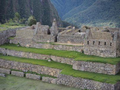 Quelques Llama arpentent les terrasses de la place principale du Machu Picchu