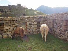 Des Llama dans la zone urbaine du Machu Picchu