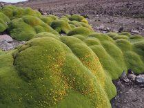 La Azorella compacta, plante à fleurs de la famille des Apiaceae appelée Yarita en Quechua