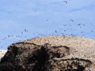 Des milliers d'oiseaux aux Îles Ballestas