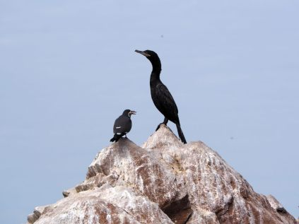 Un cormoran et un sterne inca, Îles Ballestas