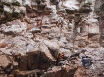 Des crabes se dorant la coquille sur les rochers, Îles Ballestas