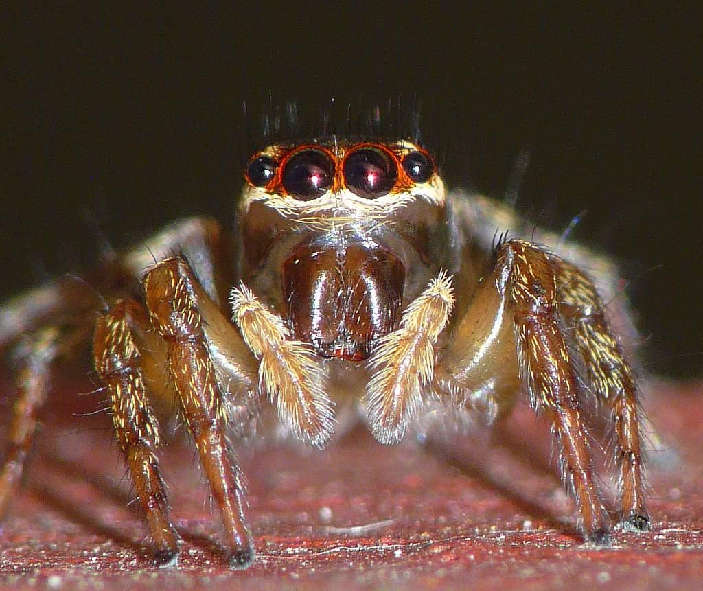 Little Jumping Spider