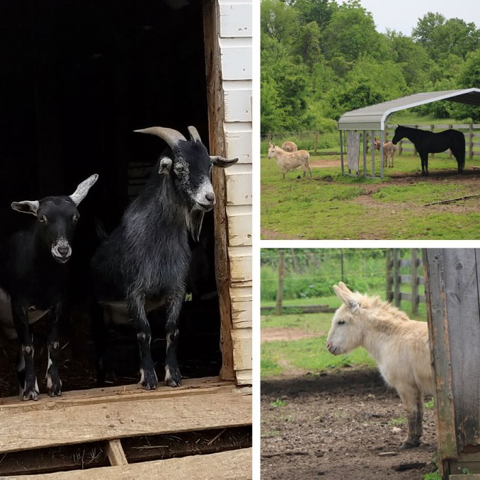 Friendly Farm Animals At The Historic Round Barn & Farm Market