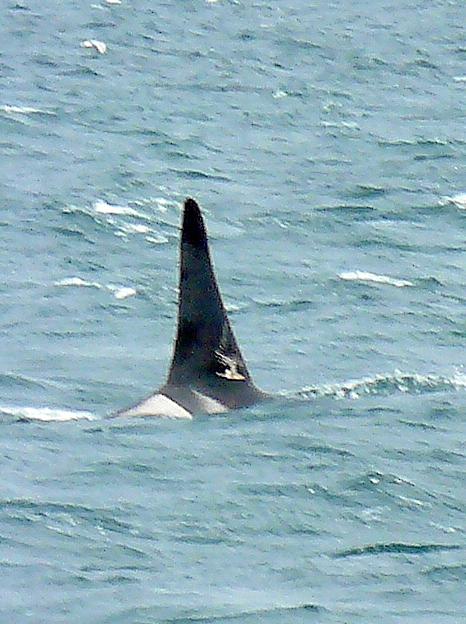 L-78 Gaia - marks on dorsal fin