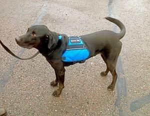 Henry Service Dog
