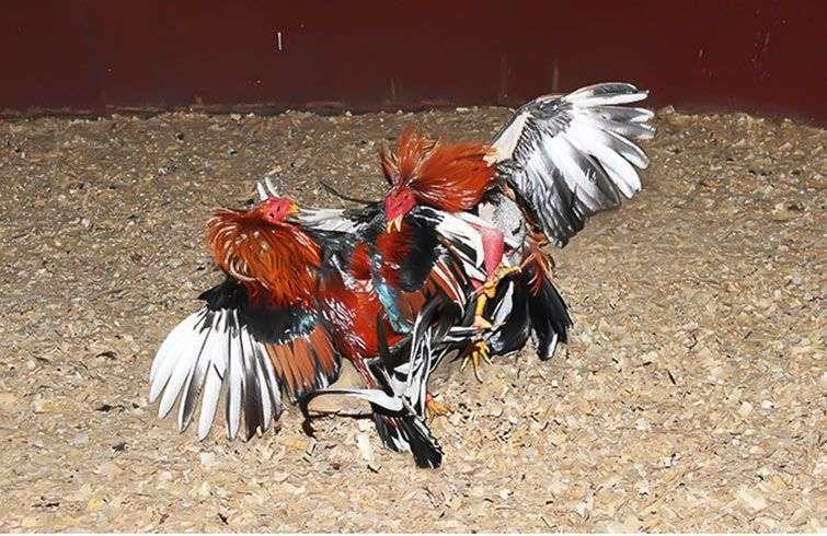 Riña de gallos