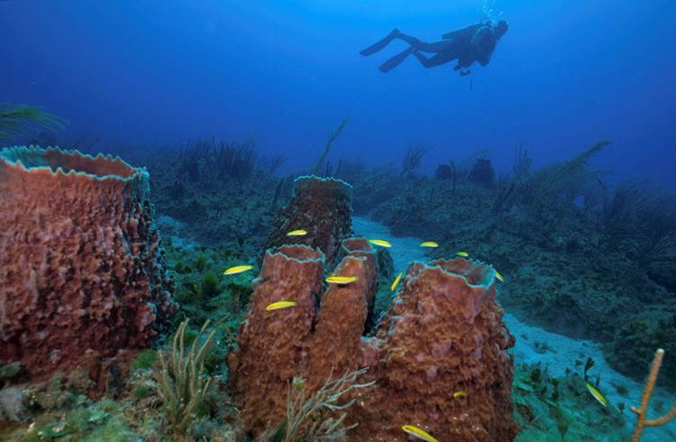 Sponge and coral communities in the Guanahacabibes National Park, Cuba. Photo: Jesse Cancelmo / Cuba's Twilight Zone Reefs and Their Regional Connectivity.
