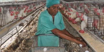 Poultry barn in Cuba. Photo: Yesmani Vega / periodicovictoria.cu