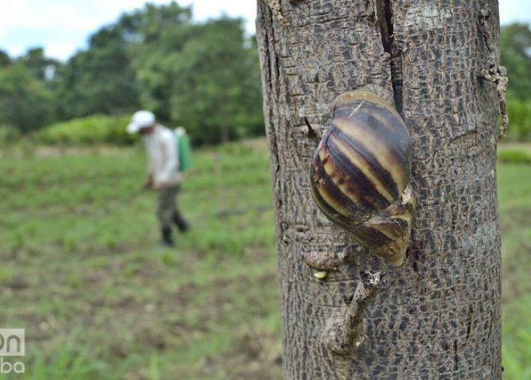 The giant African snail has rapidly spread throughout Cuba. Photo: Otmaro Rodríguez / Archive.