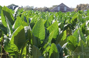 Certain lines of Cuban agriculture could be positioned in the market, in a scenario of normalization of trade relations between Cuba and the United States / Photo: Rolando Pujol.