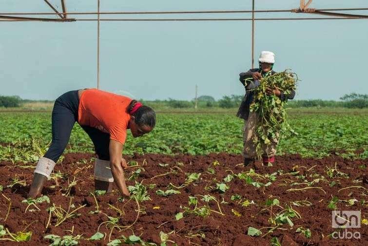 Siembra de boniato en Camagüey. Foto: Leandro Pérez