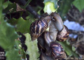 El caracol gigante africano se ha extendido por Cuba como una plaga. Foto: Otmaro Rodríguez / Archivo.