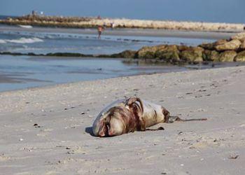 Un delfín apareció muerto en Naples este 26 de noviembre de 2018. Foto: Colleen Gill (Naplesnews.com)