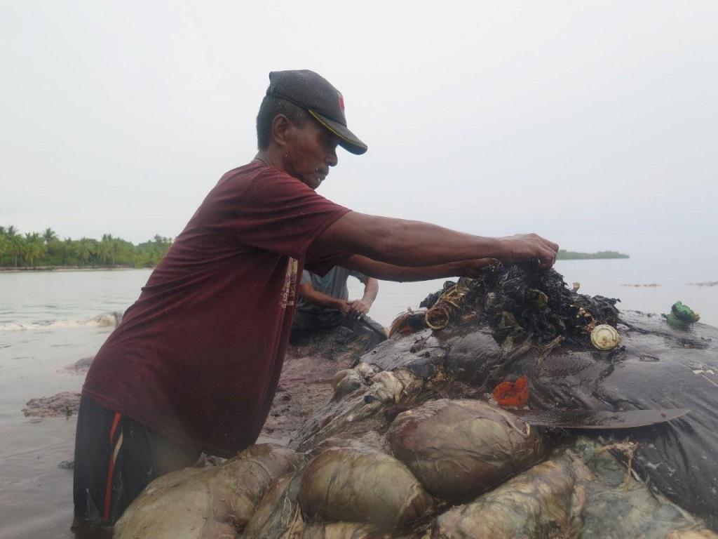 Un aldeano retira el plástico del interior de la ballena (Foto: AP)