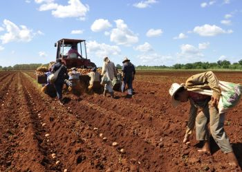 Siembra de papa en Cuba. Foto: Cristian Domínguez / Trabajadores / Archivo.