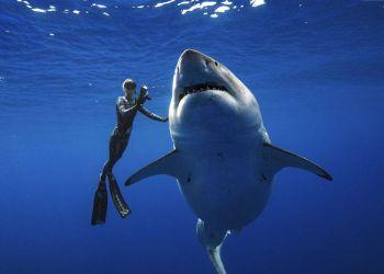 En esta fotografía del 15 de enero de 2019 facilitada por Juan Oliphant, Ocean Ramsey, activista e investigadora marina, nada junto a un gran tiburón blanco frente a las costas de Oahu, en Hawai. Foto: Juan Oliphant vía AP.
