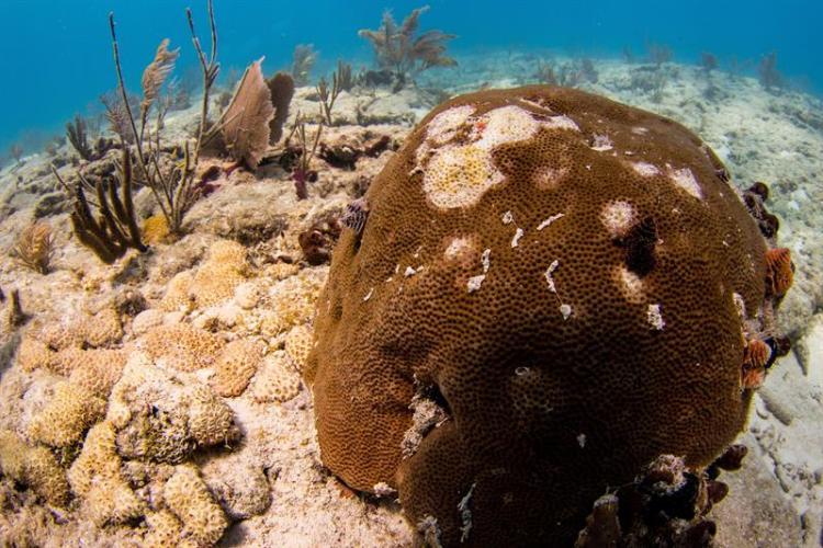 Fotografía cedida por el Laboratorio Marino Mote donde se observa unos corales atacados por una enfermedad que destruye el tejido de los corales vistos durante una inmersión en 2018 en los Cayos de Florida. Foto: EFE/Conor Goulding/Mote Marine Laboratory.