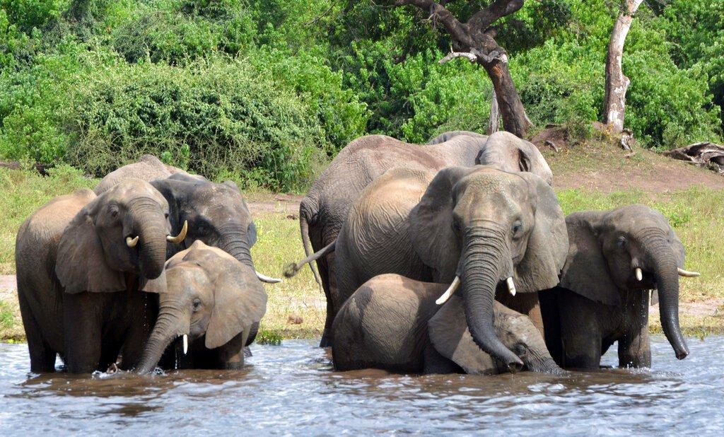 Elefantes tomando agua en el Parque Nacional Chobe en Botsuana, el 3 de marzo de 2013. Foto: Charmaine Noronha / AP.