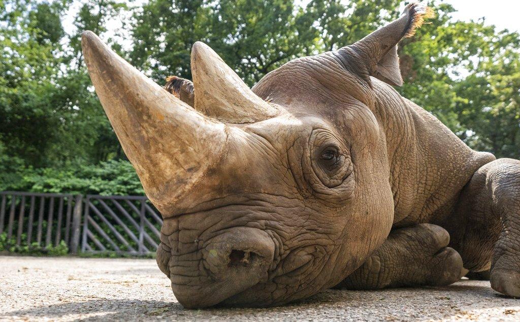 El rinoceronte negro de nombre Manny en el Safari Park Dvur Kralov de Dvur Kralove nad Labem, República Checa. Foto: Oliver Le Que / Safari Park Dvur Kralove via AP.