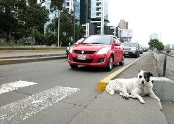 En los altos de la vía rápida que atraviesa la capital peruana, un perro permanece ajeno al tráfico que lo rodea. Foto: Rui Ferreira